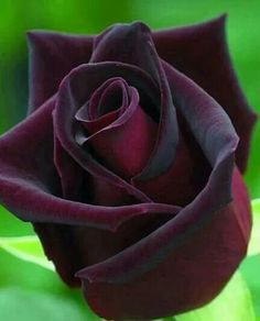 Rosa Rosso scuro ( Baccara) : Bellezza inconsapevole. Trees To Plant, Dark Red Roses, Blue Roses, Hybrid Tea Roses, White Cottage, Shades Of Black, Flower Power, Beautiful Flowers, Seeds