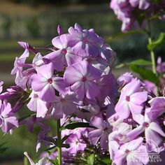 "Garden phlox.  Apparently, they are not deer resistant.   Save to plant near house, where I most like will apply a homemade ""deer be gone"" monthly.  Lots of phlox and colors to transfer.  Update:  planted 9/2014 in meadow perennial bed.  So far, no problems with deer."