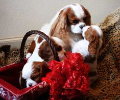 CAVALIER KING CHARLES BREEDER TEXAS, TX.