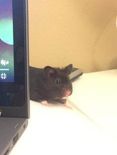 who is she... #aww #Cutehamsters #hamster #hamstersofpinterest #boopthesnoot #cuddle #fluffy #animals #aww #socute #derp #cute #bestfriend #itssofluffy #rodents