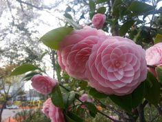 ツバキの樹は日本原産で、海外ではカメリア(・ジャポニカ)と呼ばれています (「カメリア」はツバキを欧州で広めたイエズス会の司祭の名前から)。  ツバキの花は交配が容易なため古来から品種改良が行われてきましたが、 文化的には桜や梅などと比較すると、重要な地位を占めてはいませんでした。 ですが足利義政や豊臣秀吉など時の権力者に愛されたことから重要度が上がり、 江戸期になると、二代将軍の徳川秀忠がことさらに好んだことにより、 絵画等芸術面で定着し、一般の人々にも愛されるようになっていったそうです。