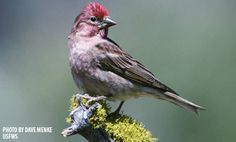 Cassin's Finch :: Bird Identification Guide :: Bird Watcher's Digest