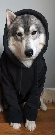 Husky in a hoodie