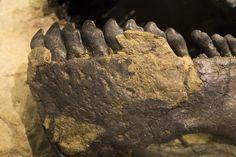Impression de peau sur la mâchoire inférieure de Camarasaurus SMA 0002 au Sauriermuseum Aathal.