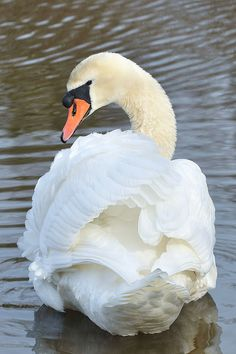 Mute Swan by Christine Fusco, via Flickr