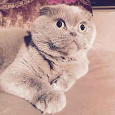 This little bug😻... so sweet! #meecheebomb #meechie #purplecat #rosie #catsofinstagram #scottishfold #lilacfold #lilaccat