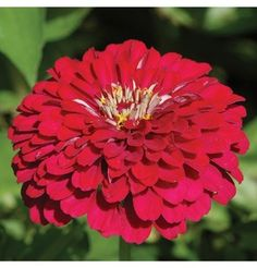 Flower Zinnia Benary's Giant Deep Red (Red) 50 Seeds by David's Garden Seeds Flowers Nature, Fall Flowers, Summer Flowers, Red Flowers, Zinnia Elegans, How To Attract Hummingbirds, Attracting Hummingbirds, Types Of Beans, Growing Gardens