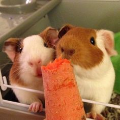 Happy Piggies Get A Nibble Of A Carrot...☺☺☺ ❤ http://smallpetselect.com/ ❤ via http://guineapiggies.tumblr.com/