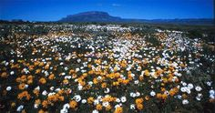 It's flower season in Namaqualand.