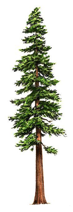 redwood trees line art - Google Search