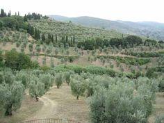We traveled by bus through Italy. Amazing olive trees in Italy and Greece. olive trees Italy