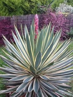 Yucca aloifolia 'Variegata' - spectacular in bloom, and out.  Watch for the sharp spines - this is a plant that demands respect.  Give it a full sun situation, lots of gravel in the soil, and stand back.