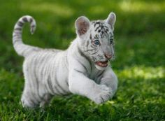 Playful White Tiger Cub