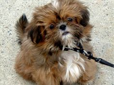 Shih Tzu Puppies | Dogs Wallpapers » Blog Archive » Cute Brown Shih Tzu Puppy Looking ...