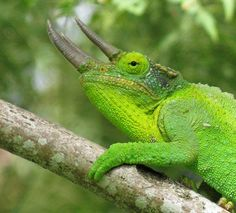 Here you can see some beautiful photos of Jackson's Chameleons and learn everything you need to learn about keeping a Jackson's Chameleon as a pet. You'll find a complete care sheet about Jackson's Chameleons. Chameleon Care, Karma Chameleon, Gila Monster, Colorful Snakes, Komodo Dragon, Chameleons, Dinosaur Toys, Boy George, Reptiles