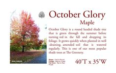 October Glory Red Maple. One the the most popular shade trees we sell. It is a great size for most yards.
