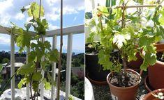 estupenda deco plantas vid