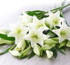 Lilium LF White Heaven