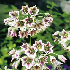 Shop online in the UK for this broad bell Allium. Also known as Nectaroscordum Bulgaricum, this variety has green-white flowers with dark red stripes. Crocus Bulbs, Tulip Bulbs, Exotic Flowers, White Flowers, Colorful Flowers, Easy To Grow Bulbs, Sutton Seeds, Garden Express, Bell Gardens