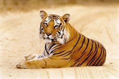 The Bengal Tiger is a beautiful animal. The base color is orange/brown, and white on the cheeks, mouth, eyebrows, and stomach