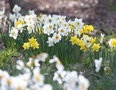 Daffodil Pictures - National Garden Bureau