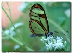 mariposa transparente wallpaper