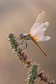 For the love of dragonflies II by ~buleria on deviantART