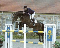 Quite Easy (Quidam de Revel - Landgraf) International Jumper Stallion with numerous hunter, jumper, eventer, and dressage offspring to his credit #jumper #HTFstallion #hunterjumper