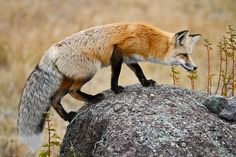 Prowling Fox by Ross Forsyth - tigerfastimagery, via Flickr