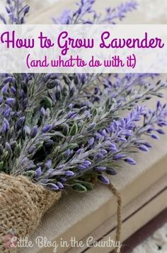 Gardening Herbs Wondering about how to grow lavender? This post will help you with growing it and suggestions on how to use it. - Wondering about how to grow lavender? This post will help you with growing it and suggestions on how to use it. Diy Garden, Garden Projects, Garden Plants, Garden Tips, Indoor Garden, French Garden Ideas, Fruit Garden, Succulents Garden, Dream Garden