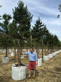 Pinus nigra Austriaca, Austrian pine, semi mature