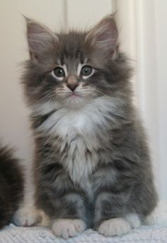 Norwegian Forest Cat- never heard of it, but this thing is cuuuute