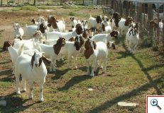 Raising Boer goats has proven to be a money making endeavor for many small landowners.