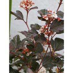 En mindre, ganska tålig buske som får små nätta blad som påminner om måbär och vinbär. Bladen har en kopparröd färg som kan skifta något. Ofta är busken mer kopparfärgad n&