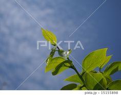 柿の若い葉 (薄い白雲有り)