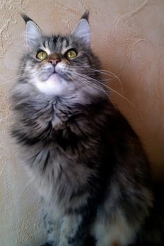 Maine coon cattery, mainecoons photos, mainecoon pictures, cats, cat females, cat males