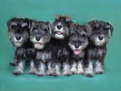 Puppies - MEGAZTAR MINIATURE SCHNAUZERS