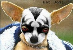 Chihuahua drama: Wrestling face paint for puppies...