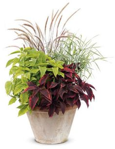 Pot for the front porch shade: Coleus Dappled Apple™ and Religious Radish star in front, with Graceful Grasses® Purple Fountain Grass as main back-up, and Dwarf Garters Dwarf Ribbon Grass sparking the right side.