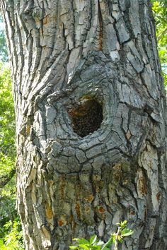 Natural Honey Bee nest in a cavity of a cottonwood tree. We have seen bees in this tree for the last 12 years, it's amazing!
