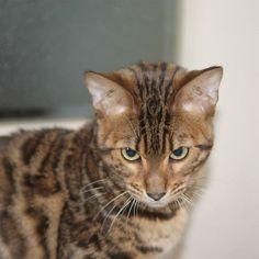 What does he see before him.  #cat #catsofinstagram #cats #catstagram #instacat #catlover #catoftheday #bengal #bengalcat #oz #ねこ #猫 #ねこ部 #ねこすたぐらむ #猫部