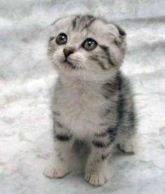 I will own one of these kitties one day. I LOVE a Scottish Fold :) So cute #catsbreedschart #fluffycatsbreedsscottishfold