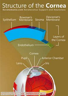 Structure of the cornea. LASIK reshapes the curvature of the cornea to precisely focus images onto the retina. Test Visual, Laser Eye Surgery, Eye Facts, Medical Anatomy, Vision Eye, Human Eye, Human Body, Eyes Problems, Eyes
