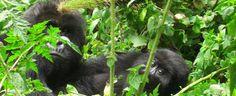 gorilla10                      http://www.primeugandasafaris.com/gorilla-safaris/13-days-uganda-rwanda-safari.html