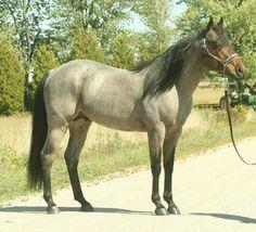 Quarter Horse stallion A Streak Of Fame
