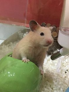 """What do you want?"" #aww #Cutehamsters #hamster #hamstersofpinterest #boopthesnoot #cuddle #fluffy #animals #aww #socute #derp #cute #bestfriend #itssofluffy #rodents"