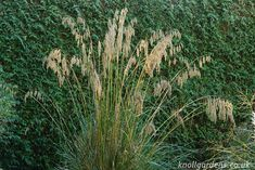 Ampelodesmos mauritanica | Knoll Gardens | Ornamental Grasses and Flowering Perennials