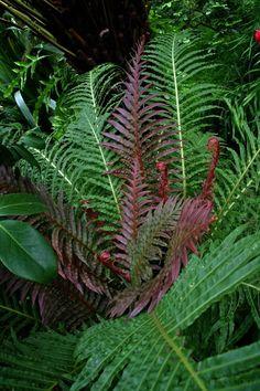 Brazilian Dwarf Fern tree Blechnaceae -  Blechnum brasiliense – The Lost World Nursery