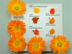 Calendula and Pigments - Kremer Pigmente GmbH & Co. (pictures were taken by Monika Titelius in 2008)