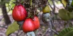We've gained a whole new appreciation for our favorite snack food's crazy journey to grocery stores. Cashew Nut Tree, Snack Recipes, Snacks, Grocery Store, Poultry, Delish, Stuffed Peppers, Vegetables